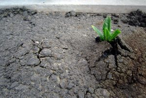 A plant breaks through asphalt